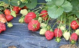 strawberry farm near Rome Tennessee